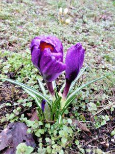Fioletowe krokusy na trawniku: wiat i pąk.